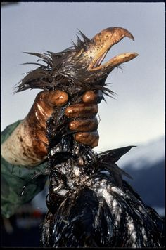 Dead eagle, Exxon Valdez oil spill, Alaska, 1989 by Bill Eppridge Nature Is Speaking, Oil Spill, Political Events, Through The Looking Glass, Documentary Photography, The Real World, Planet Earth, Ecology, Mother Earth