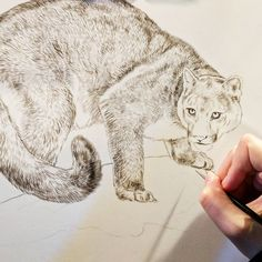 Mountain lion in progress sepia watercolor on board Rebecca Latham  Hope you enjoy! ..share if you like. #wildlife #watercolor #art #animals #painting #miniature #artist #miniatureart #realism #cat #cougar #mountainlion #puma #fineart #wildlifeart #naturalism