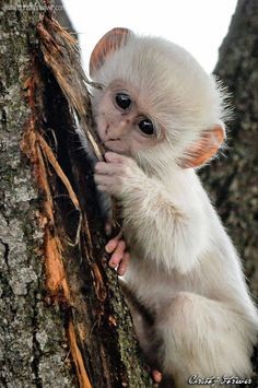 What's life like for an animal that looks very different to the rest of its family … wild-wings-safari… Source by wildwingssafari Rare Animals, Animals And Pets, Funny Animals, Los Primates, Types Of Monkeys, What's Life, Cute Monkey, Game Reserve, Mundo Animal