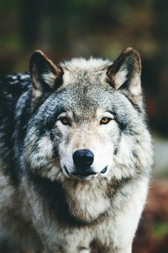 "exoticstyle: ""Face to Face // ES"" grey wolves, wolf, wolves Wolf Images, Wolf Photos, Wolf Pictures, Beautiful Creatures, Animals Beautiful, Cute Animals, Wolf Spirit, My Spirit Animal, Wolf Husky"