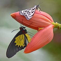Types of Butterflies - Butterflies are one of the most adored insects for their enchanted beauty and representation of good luck and positive change. Beautiful Bugs, Beautiful Butterflies, Beautiful World, Simply Beautiful, Beautiful Flowers, Butterfly Kisses, Butterfly Flowers, Beautiful Creatures, Animals Beautiful