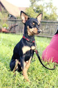 Prague Ratter Eliňka at 10 months in CZ Mini Pinscher, Miniature Pinscher, Doberman Pinscher, Prager Rattler, Miniature Doberman, Black And Tan Terrier, Dog List, Purebred Dogs, Chihuahua Love