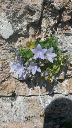 #fioridiriviera la campanula isophylla fiore simbolo di Finale Ligure cresce solo nel Finalese. sul muro della chiesa medioevale di San Lorenzo #varigotti apoteosi di fioritura #visitriviera di @amicisanlorenzo