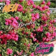 rosa 'heidetraum plus' Christmas Ornaments, Holiday Decor, Garden, Flowers, Plants, Garten, Christmas Jewelry, Florals, Gardens
