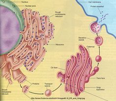 The endoplasmic reticulum synthesizes steriods and lipids. The rough endoplasmic reitculum is named for its presence of ribosomes which synthesize proteins. The smooth endoplasmic reticulum has no ribosomes and plays a major role in detoxification.