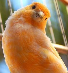 Orange Canary Bird, the expression on this birds face is priceless !