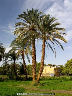 Date palm trees near Aswan, Upper Nile Valley, Egypt | Alfred Molon