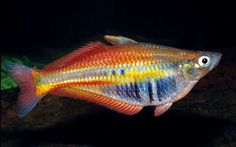 Chilatherina alleni is a new species of rainbowfish discovered in New Guinea. Between 1998 and 2008, scientists discovered an average of 2 new species in New Guinea every week. Amazing!