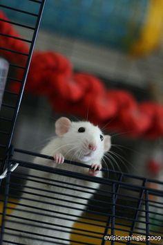 rats <3 free range time!