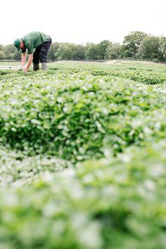 Wir beziehen unsere frische von einem lokalen Farmer in Wiltshire, UK.