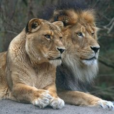 African Lions are beautiful creatures! I love big cats!