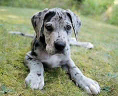 great dane puppies,looks just like my Dutchess did when she was little:)