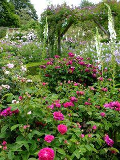 Fragrant Gallica roses, from Martin Ogden via Twitter.