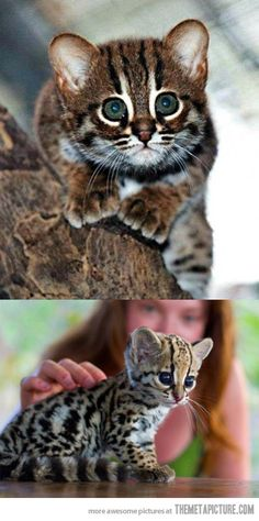 Funny pictures about Ocelot of Cuteness. Oh, and cool pics about Ocelot of Cuteness. Also, Ocelot of Cuteness. Cute Baby Animals, Animals And Pets, Funny Animals, Animals Images, Ocelot, Beautiful Cats, Animals Beautiful, Image Chat, Tier Fotos