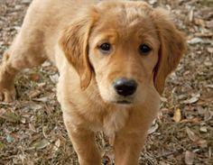 Cooper the Golden Retriever