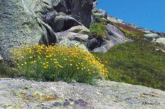 Santolina oblongifolia (Manzanilla de Gredos)