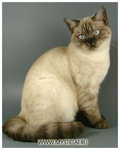 British shorthair cat, seal silver point
