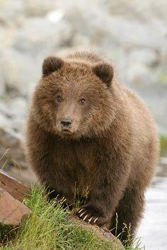 | Brown Bear Cub. | Flickr - Photo Sharing!