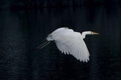 White egret in flight - white egret in flight