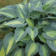 HOSTA 'Catherine' : Vaste genre offrant une grande diversité de feuillages particulièrement décoratifs. Une fois installés, ce sont de parfaits couvre-sols, peu exigeants et d'une grande longévité. Leurs fleurs en trompettes pendantes apportent un heureux complément de couleur. Le feuillage peut être utilisé dans les bouquets. Massif, bordure. Ample feuillage arrondi jaune verdâtre, largement bordé de gris bleuté. Fleur mauve lilacé. Résiste  aux limaces et escargots. Shade Garden Plants, Hosta Plants, Foliage Plants, Plantain Lily, Wonderful Flowers, Heuchera, Dahlia, Perennials, Wild Flowers