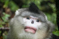 Red Spot, an adult male Yunnan sub-nosed monkey, is pictured in the Baima Snow Mountain Nature Conservation Area, Yunnan province, Sept. 24, 2016. Courtesy of Long Yongcheng