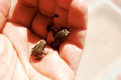 In June, after the rains it is easy to find in the garden of our villa Tuscany small frogs such as those that I show you in pictures, sometimes they are very green, sometimes black sometimes brown, but still very small