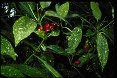 Details and Photos Aucuba Japonica, Texas Plants, Planting Shrubs, Hardy Plants, West Texas, Types Of Plants, Red Berries, Evergreen