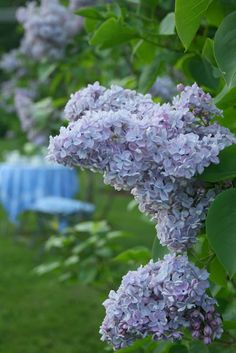 french lilacs JP Gardener.Katherine Havmeyer , President Gevy and Beauty of Moscow.
