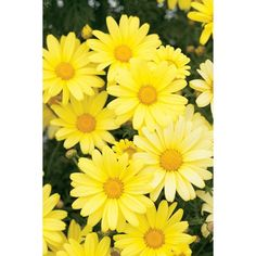 Butterfly Daisy « Flowergardengirl™ ❤ liked on Polyvore featuring backgrounds, flowers, pictures, yellow, photos and fillers