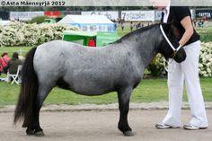 Shetland Pony - mare Koivulan Penni