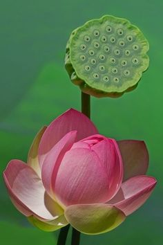 ~~Two Generations by Beautiful lotus Exotic Flowers, Amazing Flowers, My Flower, Flower Art, Beautiful Flowers, Exotic Plants, Nymphaea Lotus, Lotus Flower Pictures, Lotus Pods