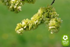 Bach Flower remedy Elm. This Bach flower is part of the 'pessimism and despair' group. Elm helps people who feel stifled and overwhelmed by responsibilities. #bachflowerremedies #elm #edwardbach