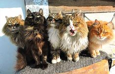 We've long dreamed of visiting bunny island, cat island, and puppy island. Basically, any place that's overrun with animals sounds absolutely glorious. Siberian Forest Cat, Siberian Cat, Cute Kittens, Cats And Kittens, Tabby Cats, Siamese Cats, Cool Cats, Animals Beautiful, Cute Animals