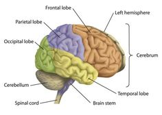 The four lobes of the brain brain human brain diagram and brain stroke attentional disordersef impairments where is attention in the brain ccuart Images