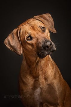 photo by Elke Vogelsang Puppy Dog Eyes, Dog Cat, Black Mouth Cur Puppies, I Love Dogs, Cute Dogs, Lion Dog, Rhodesian Ridgeback, Tier Fotos, Dog Paintings