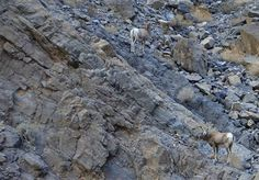 Bighorn sheep on Titus Canyon Road, Death Valley National Park, 1/23/13