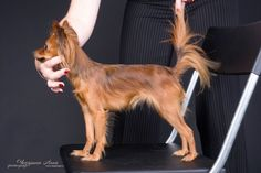Russian Toy Terrier (long-haired)