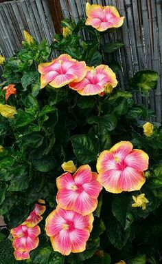 Growing hibiscus is a very easy way to include an exotic flair to your… Hawaiian Flowers, Hibiscus Flowers, Exotic Flowers, Tropical Flowers, Tropical Plants, Amazing Flowers, Pink Flowers, Beautiful Flowers, Hibiscus Garden
