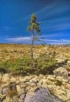 "This Spruce tree in Sweden is years old. It is older than every religion, which should serve to tell you that there was no ""Great Flood"". Old Tjikko, Losing My Religion, Spruce Tree, Religious People, God Is, Lol, Good To Know, In This World, Sweden"