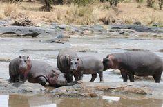 Hipos bañandose Africa, rio Mara, reserva Masai Mara