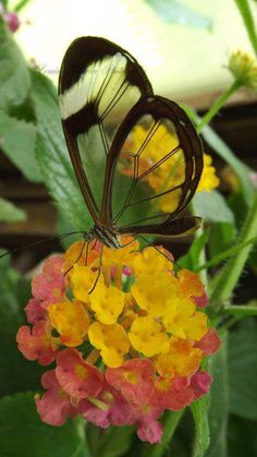 Glasswing Butterfly