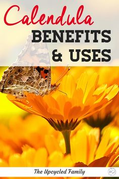 Ever heard of calendula? Not sure what it is or why you should grow it? Calendula benefits Herbal Remedies, Home Remedies, Natural Remedies, Natural Herbs, Natural Health, Herbs For Sleep, Calendula Benefits, Herbs For Health, Turmeric Tea