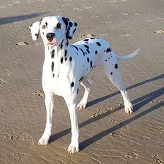 #dalmatian   #dalmatiansofinstagram   #dalmatians_of_instagram   #dalmata   #dalmatians   #dalmatianspotlight   #dogphotography   #topdogphoto   #topdog   #ilovemydog   #beachdog   #ruffpost   #bestwoof   #dog_features   #sendadogphoto   #dogstagram   #doglovers   #doglife   #dog_features   #dalmatian_feature   #myfriend   #dog   #mydog   #mydogiscutest   #beauty   #dog_of_instagram   #houndbazaar   #dogs_of_instagram   #petlovers   #dalmatian_central
