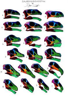 726px-Sauropodomorpha_skull_comparison.jpg (726×1024) - A. Efraasia; B. Plateosaurus; C. Lufengosaurus; D. Aardonyx; E. Anchisaurus; F. Massospondylus; G. Omeisaurus; H. Euhelopus; I. Camarasaurus; J. Brachiosaurus; K. Giraffatitan; L. Abydosaurus; M. Diplodocus; N. Apatosaurus; O. Kaatedocus; P. Nigersaurus; Q. Nemegtosaurus; R. Quaesitosaurus; S. Rapetosaurus; T. Bonitasaura. Auteur : Danny Cicchetti, 2013.