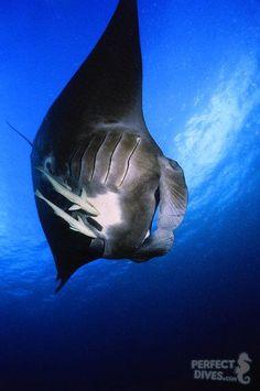 manta ray - German Channel, Palau by Yvette Lee.