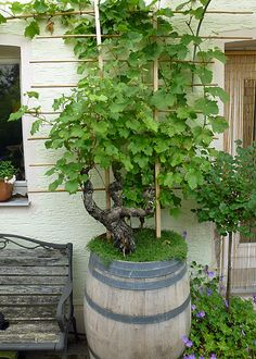 Grapevine as a container plant- Weinrebe als Kübelpflanze Plant wine barrel with vines - Vegetable Planters, Container Gardening Vegetables, Vegetable Garden Design, Backyard Garden Design, Container Plants, Garden Planters, Garden Beds, Wine Barrel Garden, Wine Barrel Planter