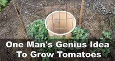 """A 5 gal bucket...two rows of drilled holes, compost, tomato """"fence"""", five tomato plants and 5 gallons of water every week...how to in the article. I'm going to have to try it."""