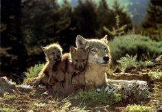 Gray Wolf mother and pups (Canis lupus) {! Image ONLY Beautiful Wolves, Animals Beautiful, Beautiful Family, Wolf Pictures, Animal Pictures, Of Wolf And Man, Baby Wolves, Wolf Pup, Husky
