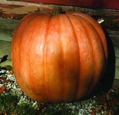 DILLS ATLANTIC GIANT PUMPKIN (125 days)