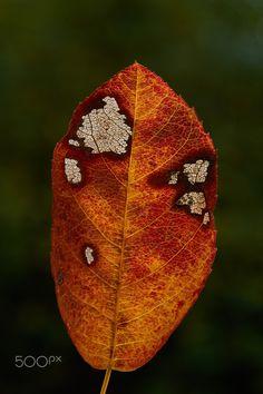 leaf - autumn leaf